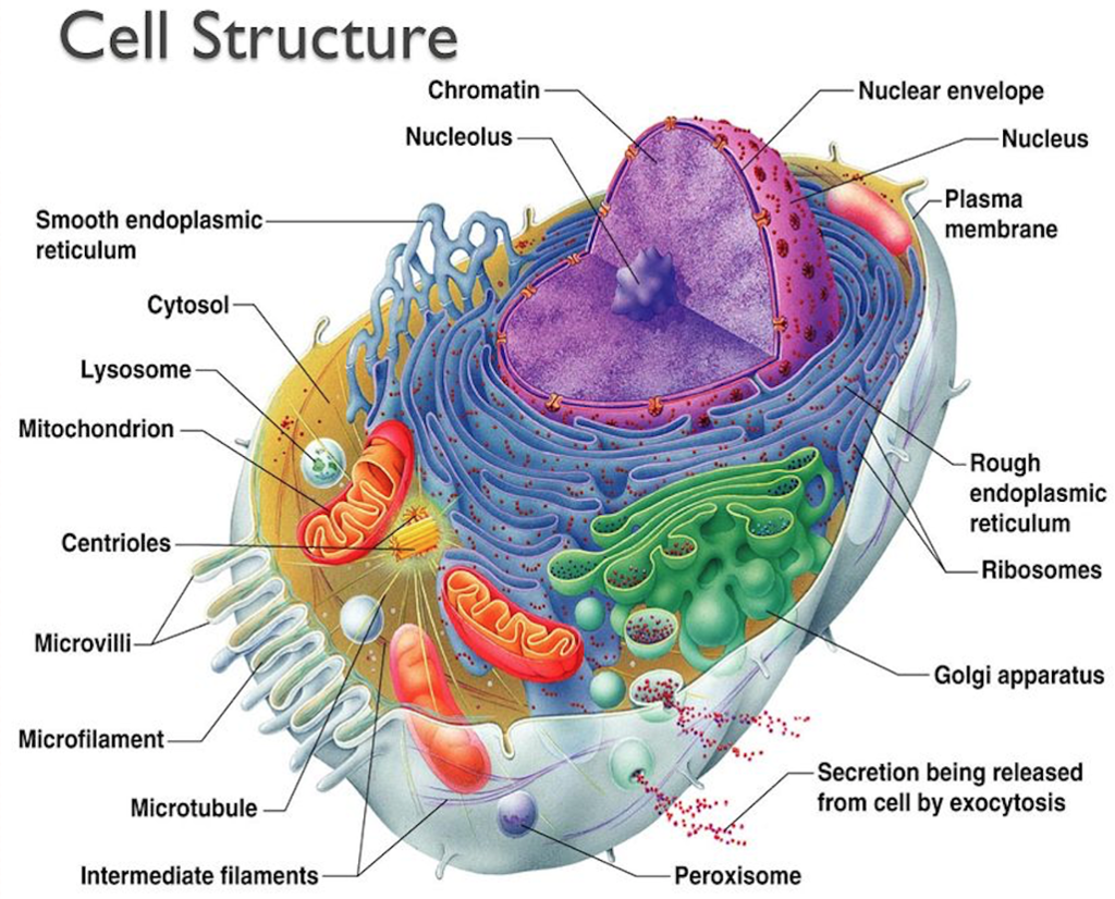 The Structure And Functions Of An Animal Cell
