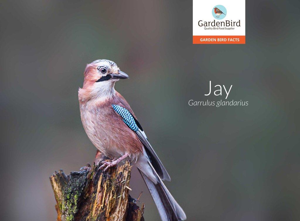 All About The Jay Gardenbird