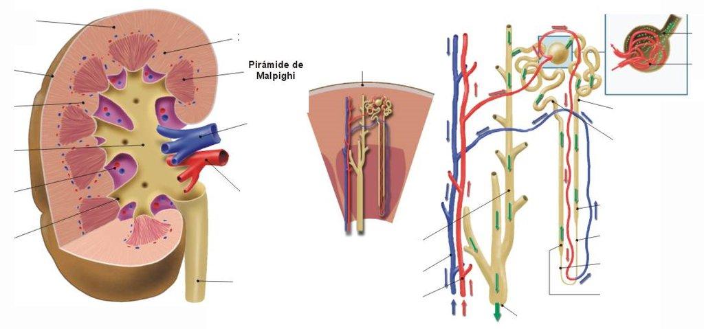 Anatomía y fisiología – Blología