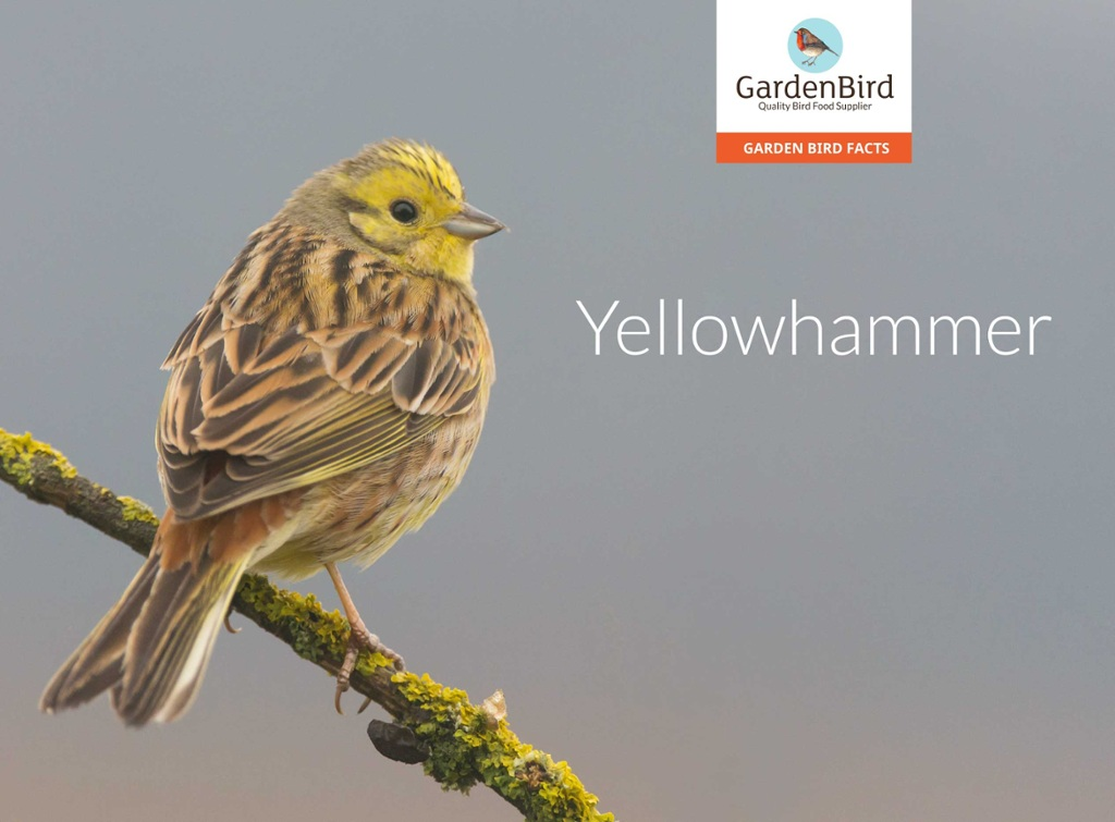 Rick Simpson Birding Yellowhammer Yes