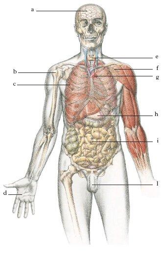 il corpo umano apparati