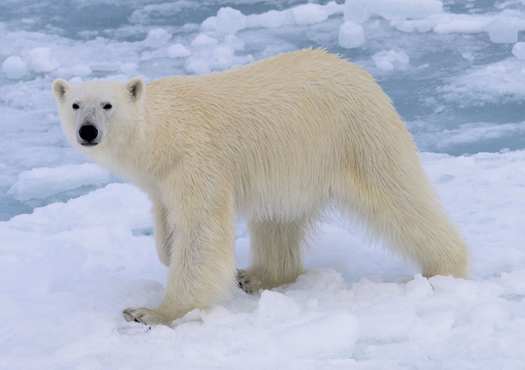 Animal of the Month: Interactive guide to polar bear anatomy | OUPblog