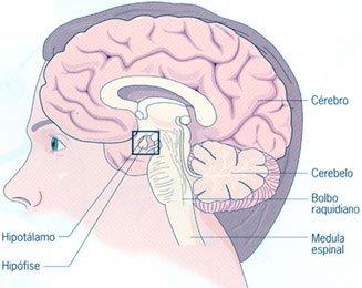 Constituição do Sistema Nervoso Central