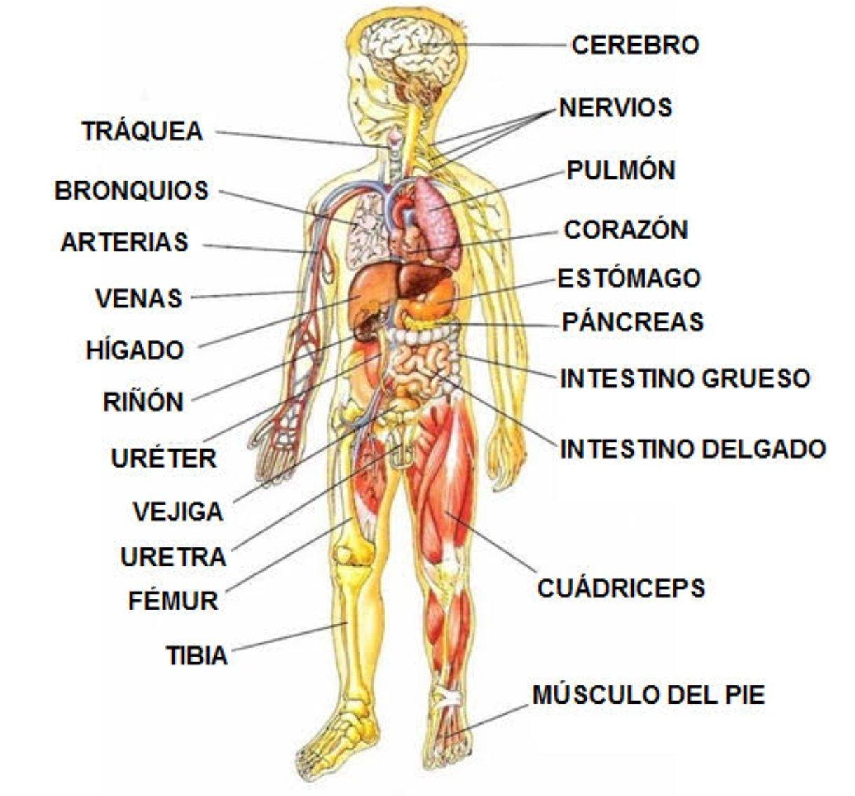 tubo estrecho que conecta el riñón y la vejiga