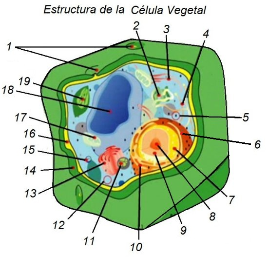 Estructura De Una Célula Vegetal