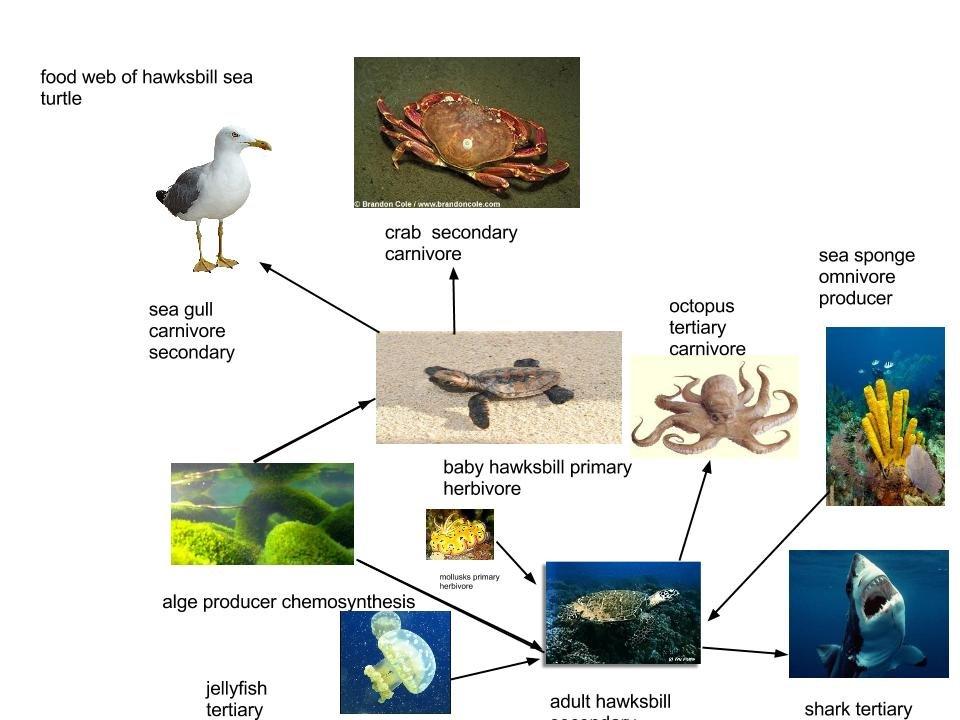 Leatherback Sea Turtle Food Web - 82.0KB