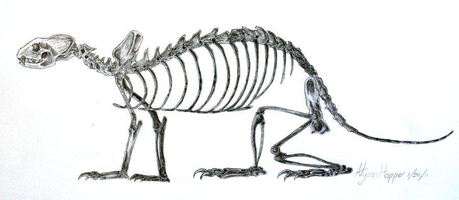 ferret skeletal anatomy