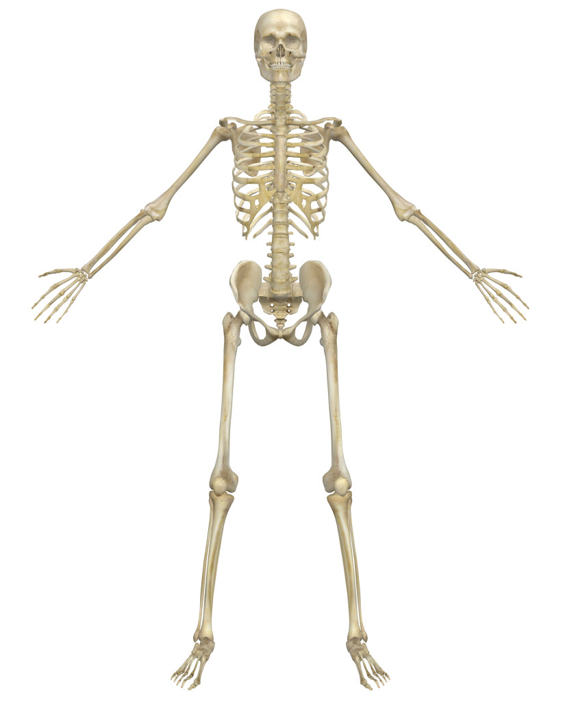 Fun Facts About The Skeleton