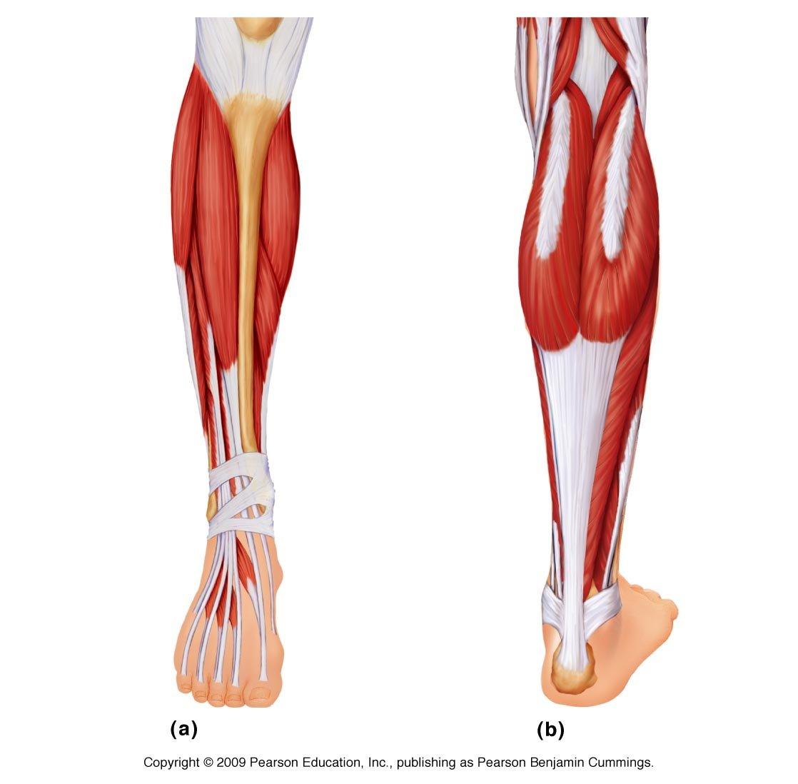 Muscle  Lower Leg  U0026 Foot