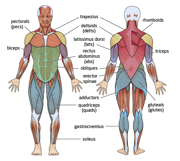 muscular system - cole tutorial | sophia learning,