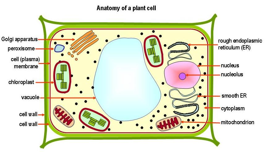 The nucleus contains inherited chromosomes and informatio...