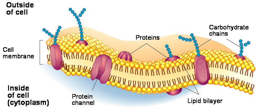 The cell membrane controls the entrance and exit of subst...