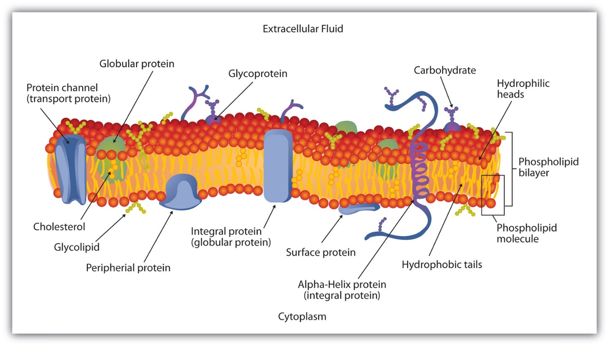 CH03 The Cell and Membrane Structure