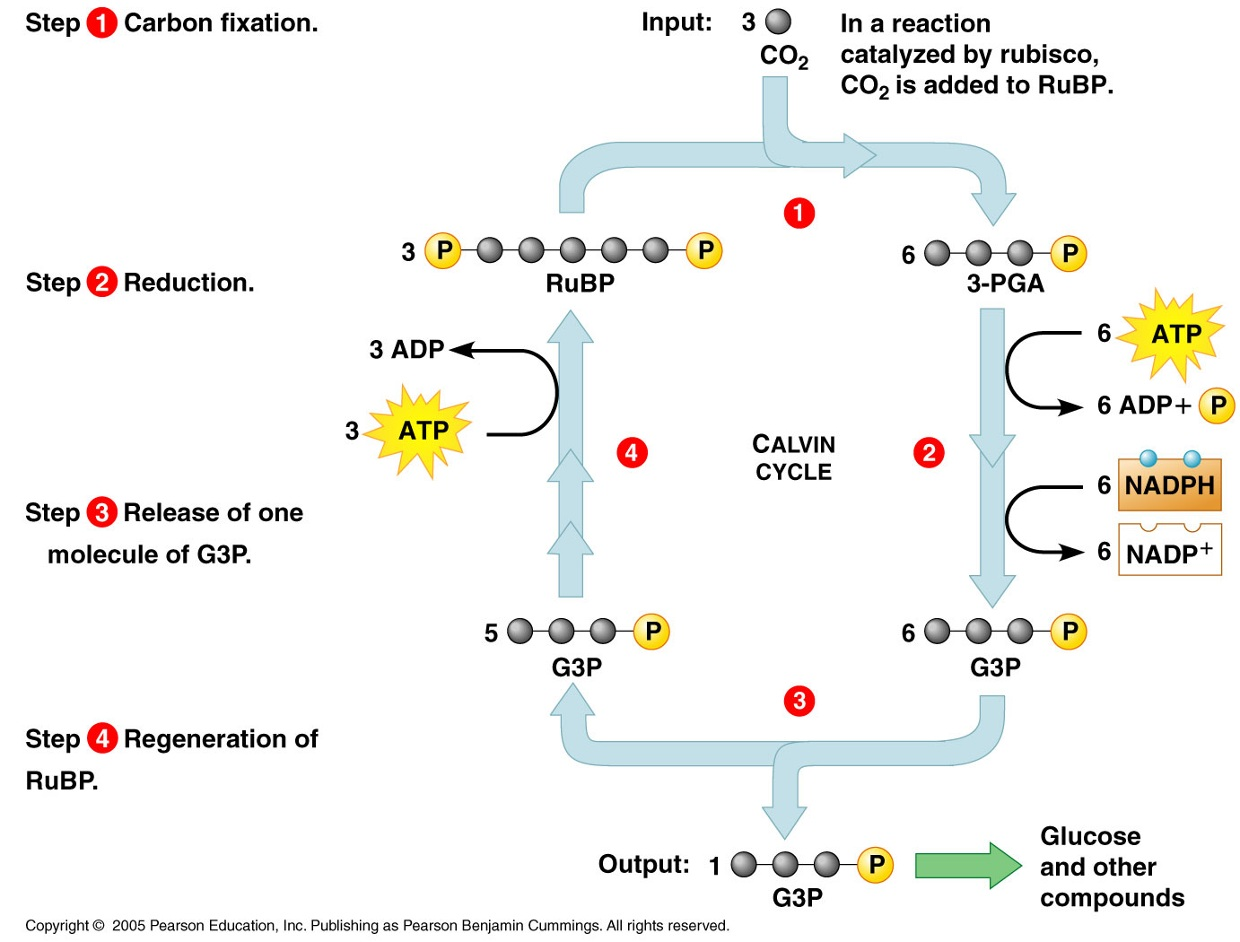 The Calvin Cycle Or Dark Reactions