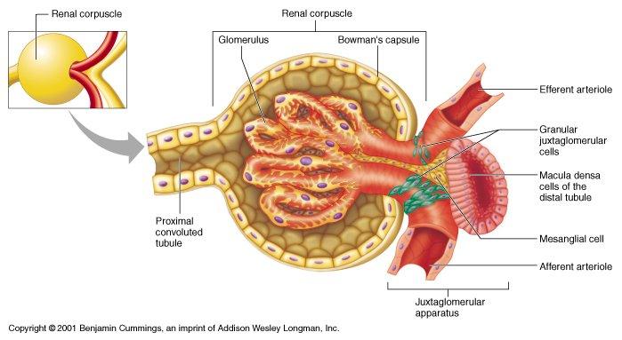Juxtaglomerular Cells Dtect Low Blood Pressure