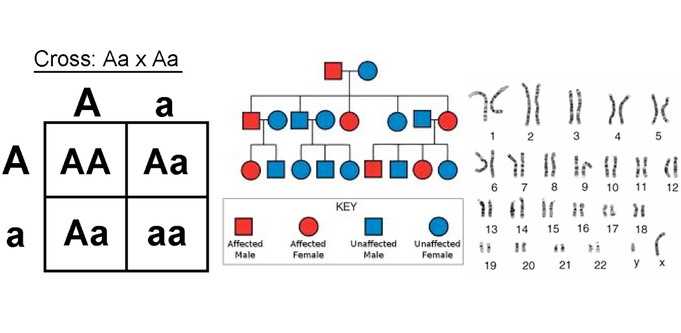 pedigree analysis using punett squares In interpreting punnett squares, it is important for students to realize that the  genotype of a person who  these insights are crucial for pedigree analysis.