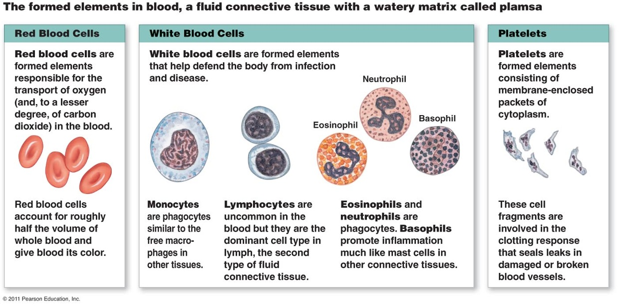 Place of formation of platelets. Structure and function of platelets