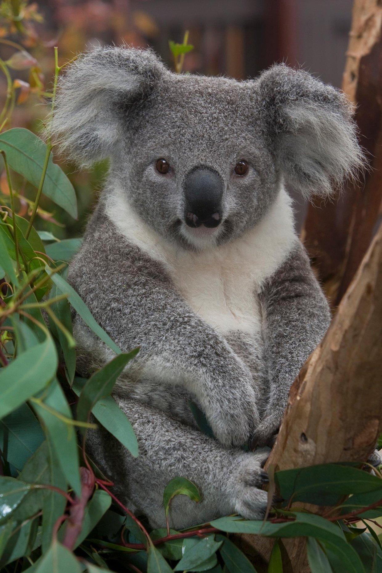 koalas project. Black Bedroom Furniture Sets. Home Design Ideas