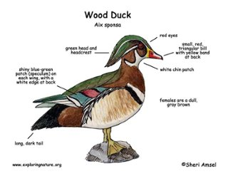 scaledown this is a wood duck, identification kingdom animalphyl