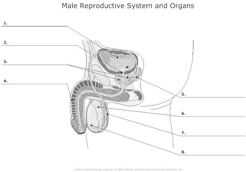 Vas Deferens Diagram Penis, testicle...