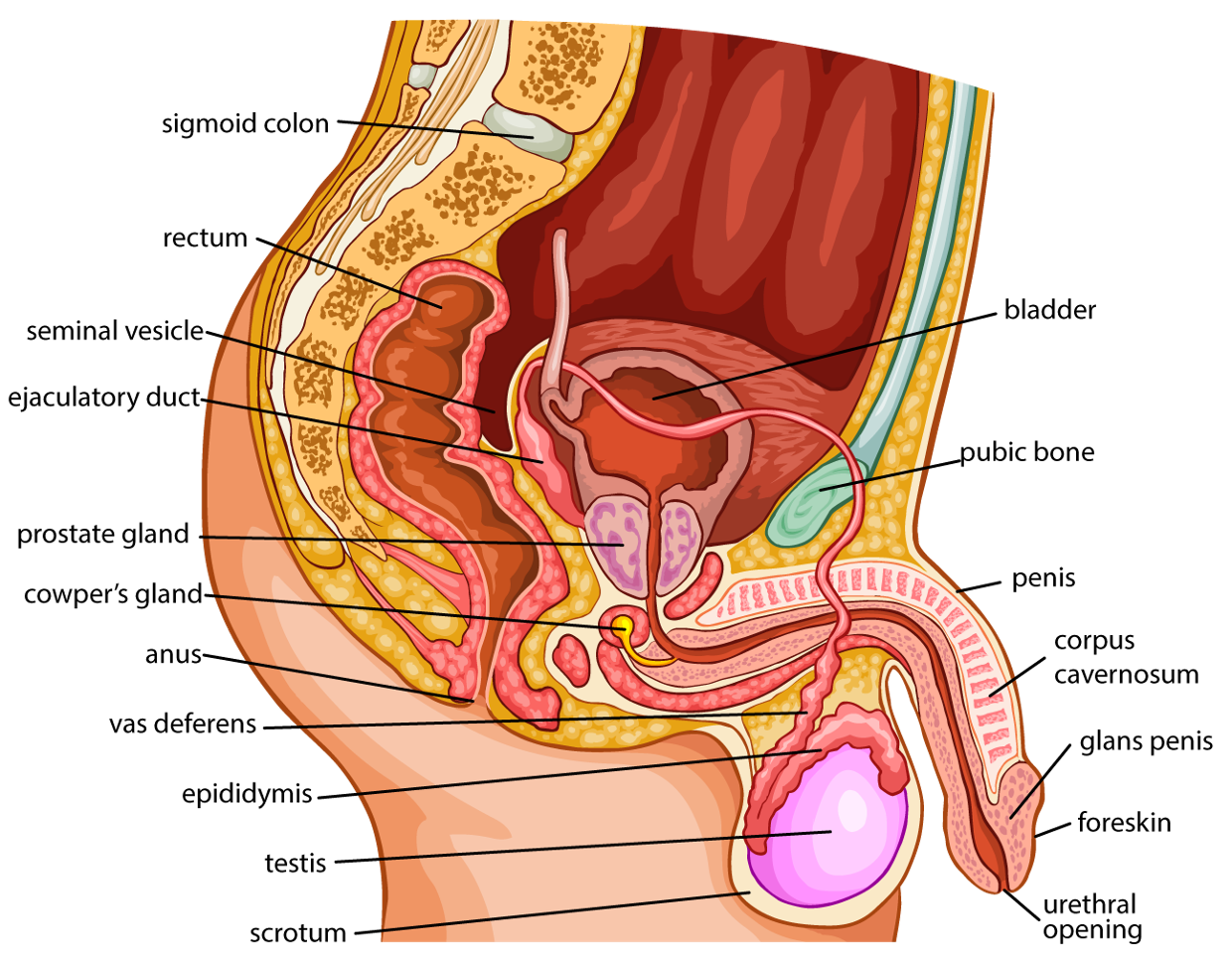 Male reproductive system. The structure of the reproductive system of men 79