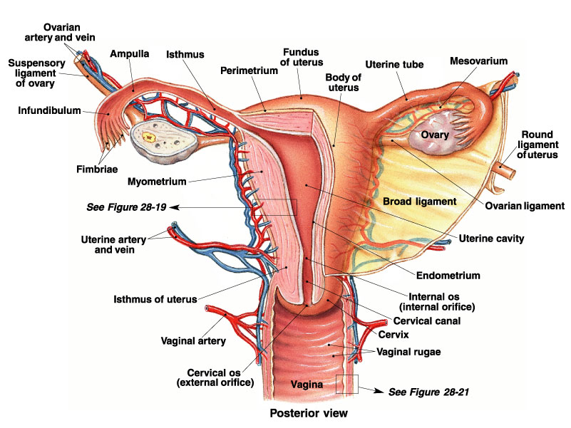 P3- The Female Reproductive System