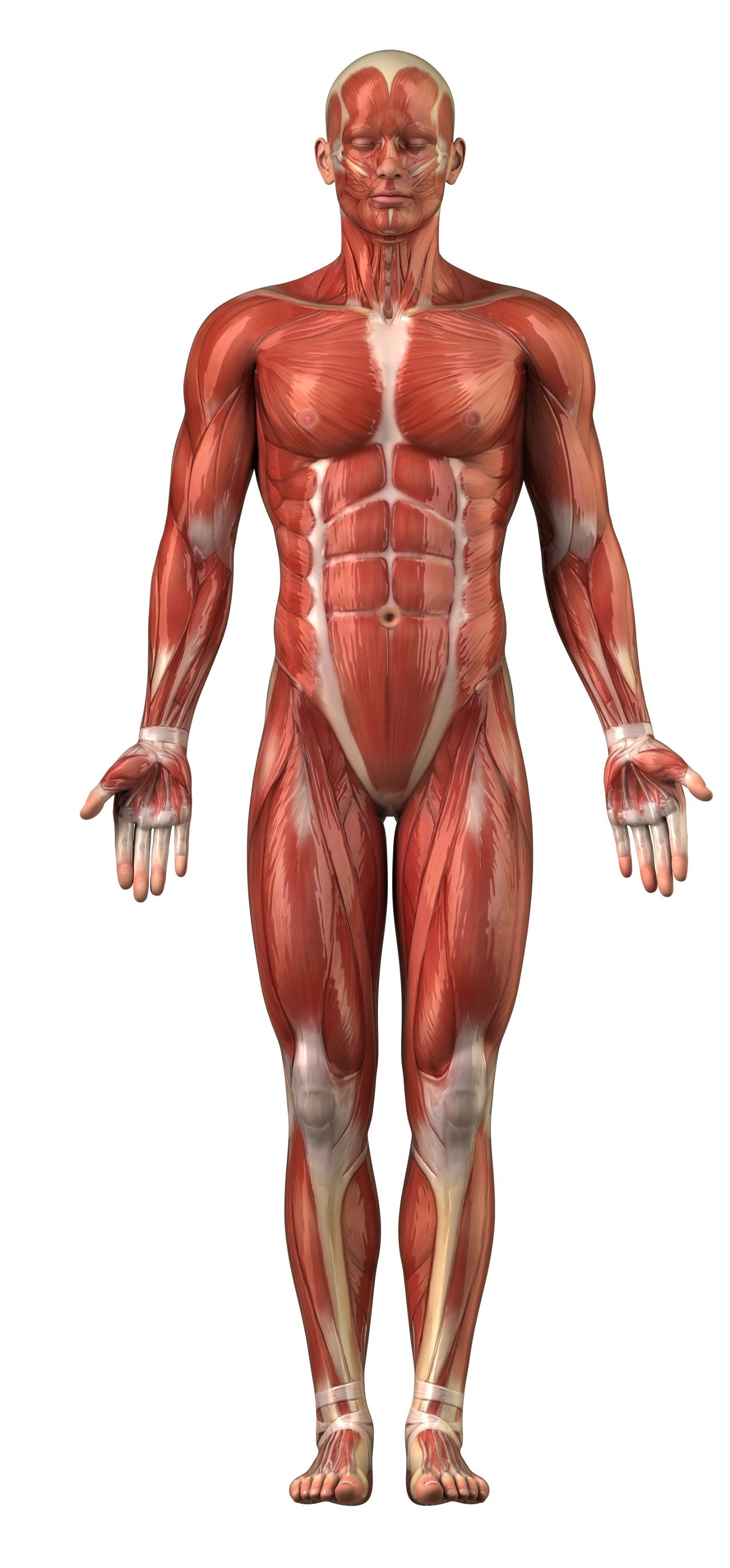 Bicep Muscle Deltoid Muscle Pectorals Quadriceps Fron
