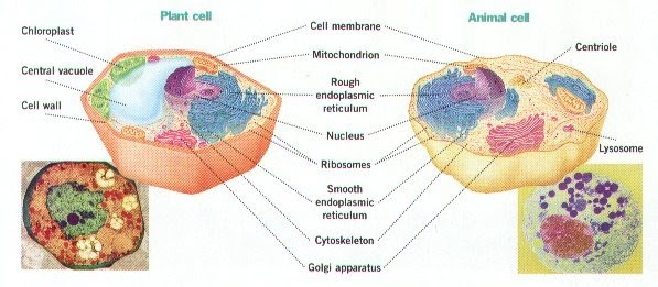 the cell membrane is a protective layer around all cells