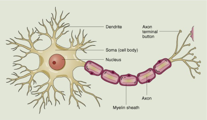 Anatomy of a Neuron - ThingLink