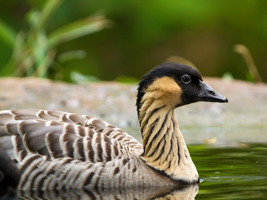 Nene Goose,Hawaiian Goose, (Branta Sandvicensis) Big ... |Hawaiian Goose Branta Sandvicensis