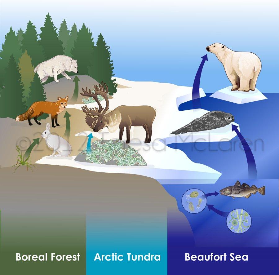 Arctic Ocean Food Web: Arctic Food Web