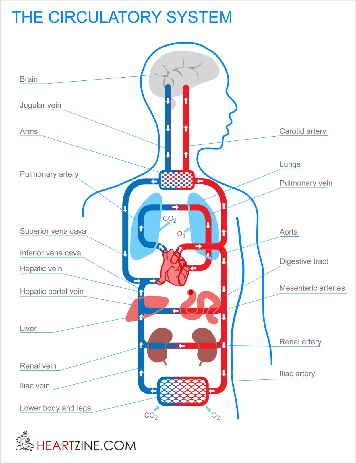 Circulatory System Part 2
