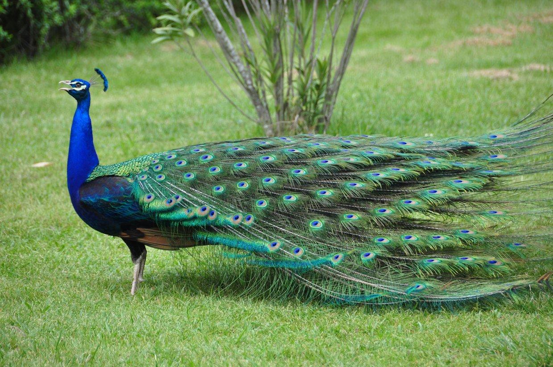 El pavo real - Fotos de un pavo real ...