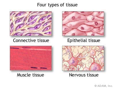 types of tissue and muscle Fast and slow twitch muscle fiber types sports ability may be influenced by muscle fiber types.