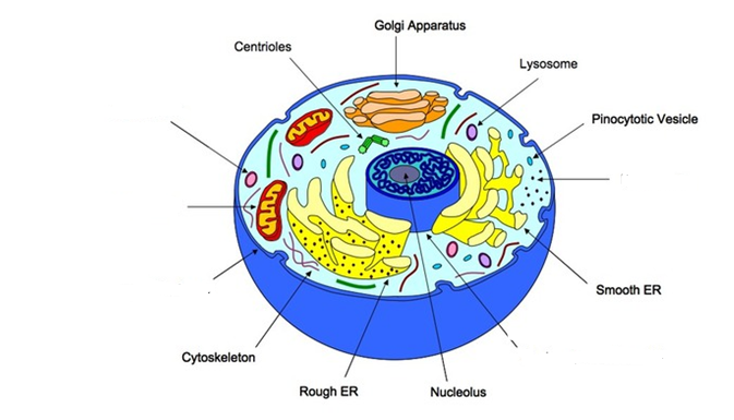 Animal Cell Labeling