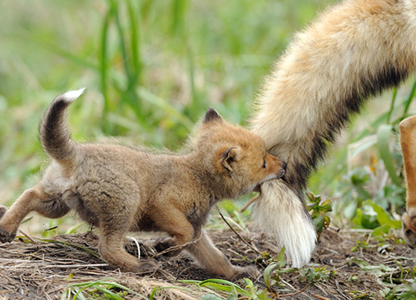 baby fox cub with his mother