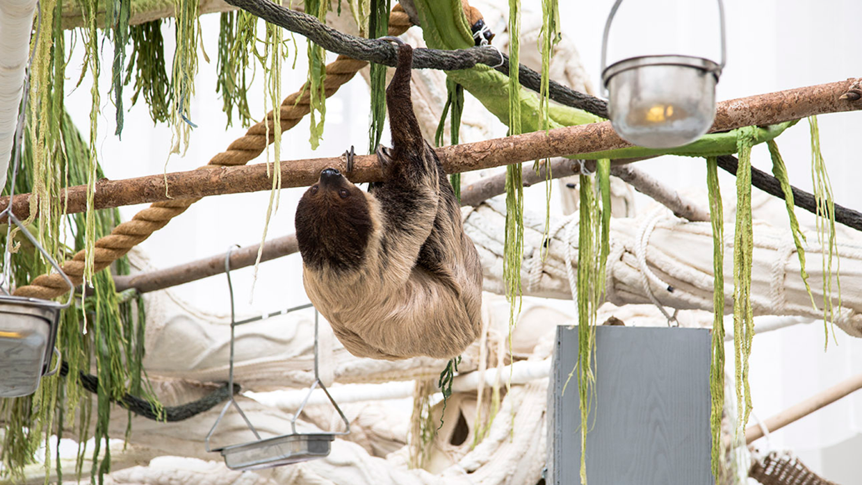Il est plus facile de garder en captivité les paresseux à...