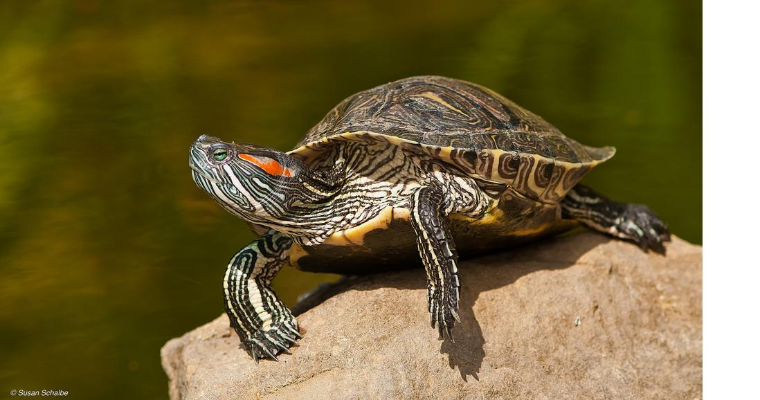 What you feed a box turtle, Pet turtle habitat, Turtles l ...