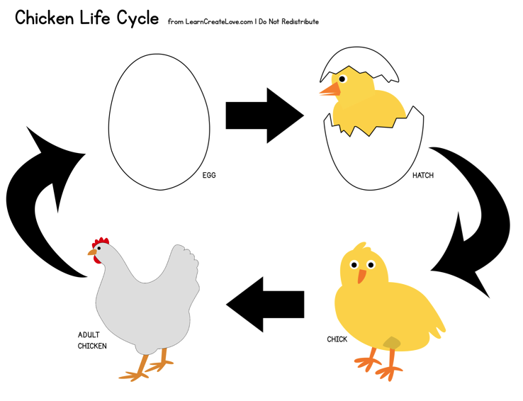 Life Cycle Of A Chicken Worksheet – Chicken Life Cycle Worksheet