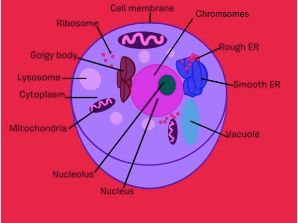 Animal Cell Analogy Diagram  City Themed