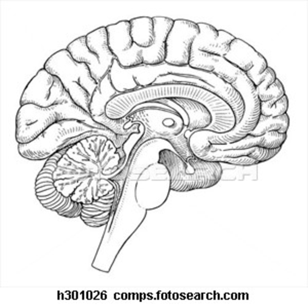 Images of Human Brain Line Drawing - #SpaceHero
