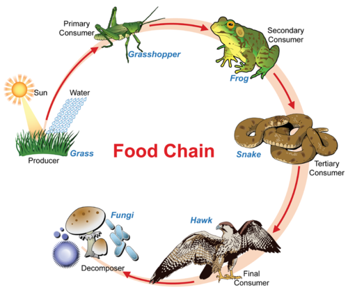 Which Organism Is The Producer In This Food Chain