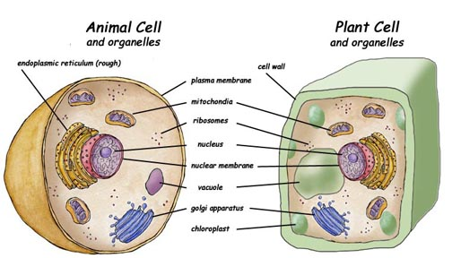 The Nucleus Controls All Activity In The Cell It Sends Si