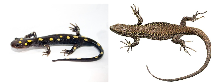 Salamander VS. Lizard By Paige