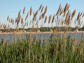 The invasion of the Common Reed