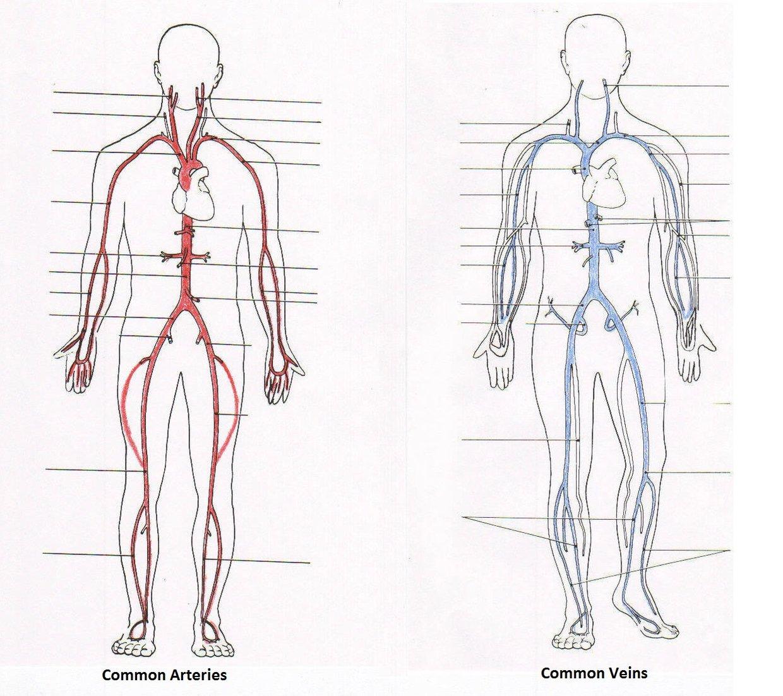 Left Common Carotid Artery Subclavian Artery Left Axill Thinglink
