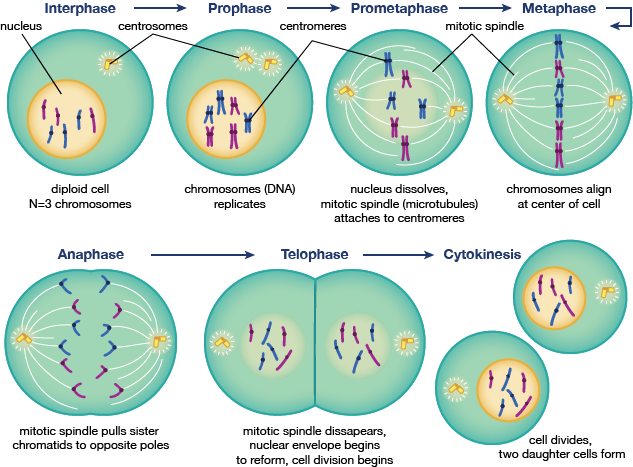 Cell Cycle, Mitosis Phases