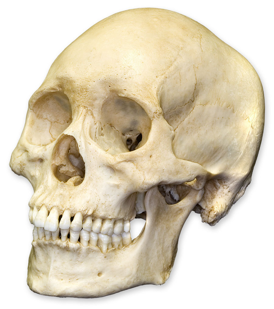 Mandible Vomer Zygomatic Bone Styloid Process Frontal