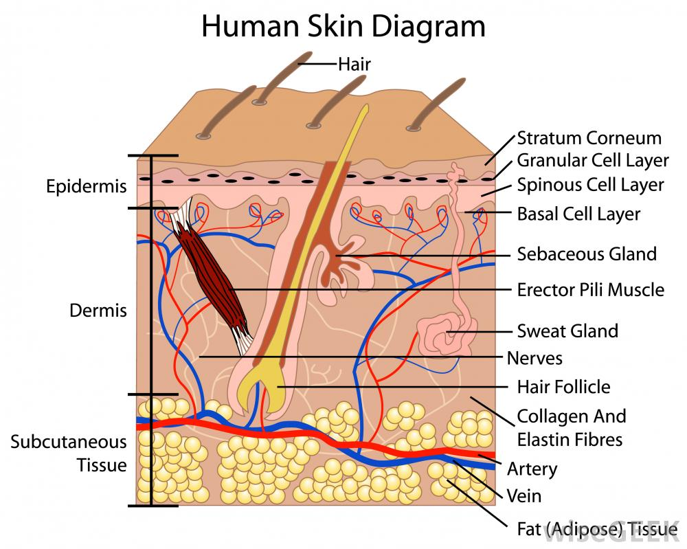 Skin layer diagram