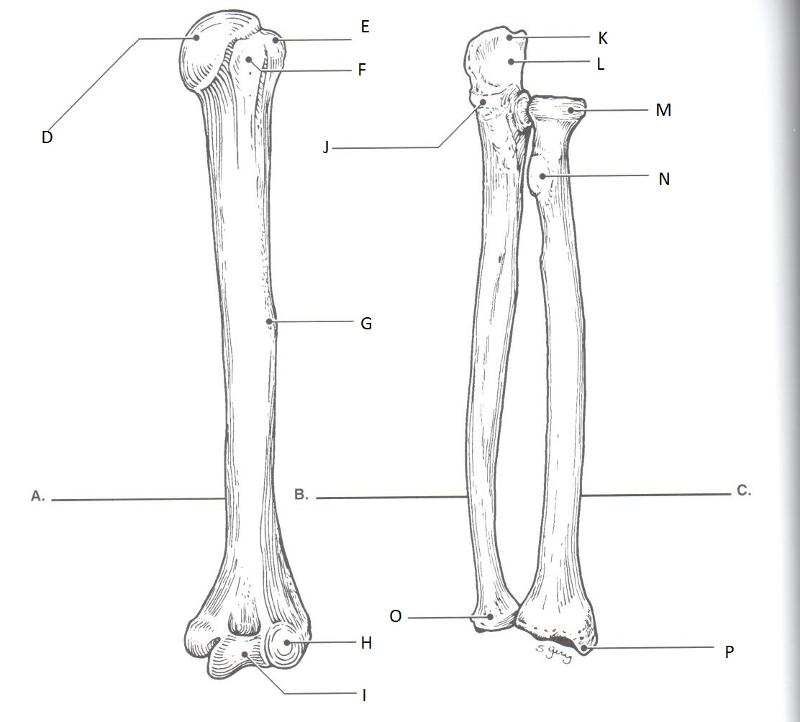 upper limbs